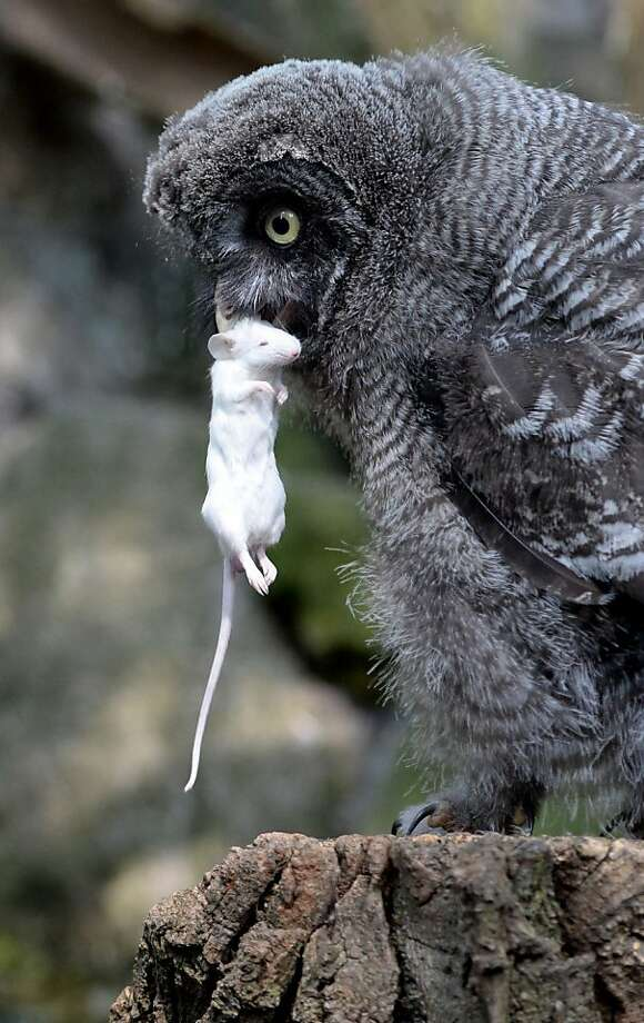 If you've ever wondered what they feed Great Grey Owls at the Berlin Zoo, well, now you know. Photo: Matthias Balk, AFP/Getty Images