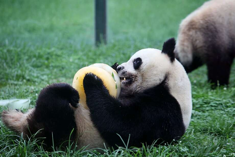 For its panda's fifth birthday, the zoo in Weifang, China, treated the bear to a giant hockey puck of frozen bamboo and water. Good for both eating and icing down one's stomach. Photo: Stringer, AFP/Getty Images