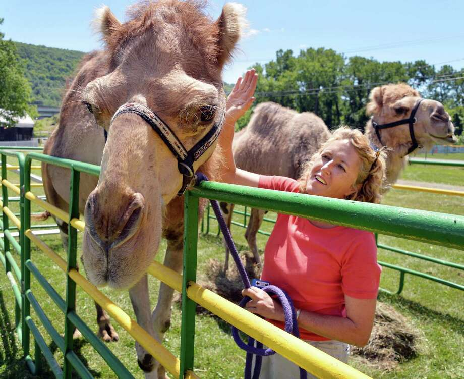 Alexandra Burpee of Records and Burpee's Traveling Children's Zoo of Dudley, Mass., readies camels Friday, July 26, 2013, for the Schoharie County Sunshine Fair in Cobleskill, N.Y. The fair opens Saturday. (John Carl D'Annibale / Times Union) Photo: John Carl D'Annibale / 00023173A