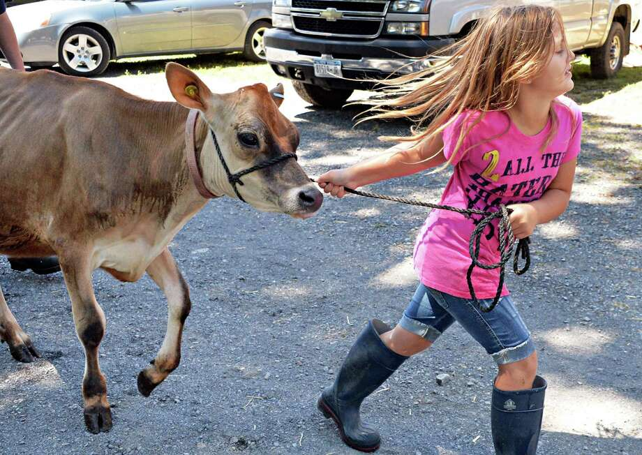 Seven-year-old Taylor George of Middleburgh leads calf Rosilynn to her barn Friday afternoon, July 26, 2013, at Shoharie County Sunshine Fair in Cobleskill, N.Y. The fair opens Saturday.  (John Carl D'Annibale / Times Union) Photo: John Carl D'Annibale / 00023173A