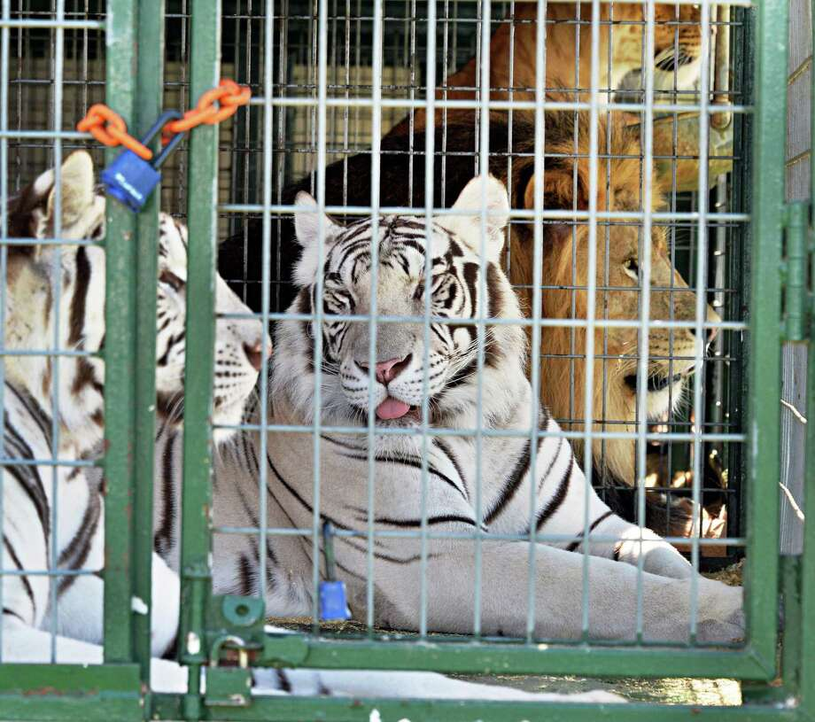 Tigers and lions from Big Cat Encounter await Saturday's opening of the Schoharie County Sunshine Fair Friday afternoon, July 26, 2013, in Cobleskill, N.Y. (John Carl D'Annibale / Times Union) Photo: John Carl D'Annibale / 00023173A