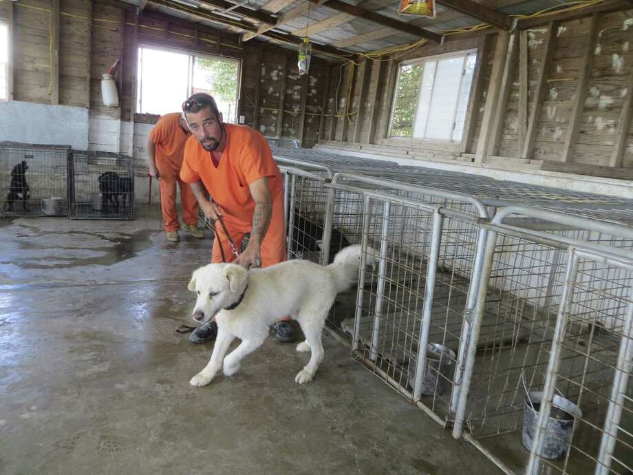 Bandera County inmate Travis Pittman takes a dog out of its cage at the county's shelter in Mansfield Park before he and other inmates clean the facility, which county officials have discussed replacing for years. They've now voted to do it. Photo: Photos By Zeke MacCormack / San Antonio Express-News