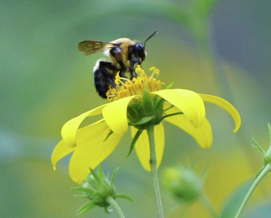"""Learn about beekeeping from the author of """"Beekeeping for Dummies"""" at the New Canaan Library on Saturday. Find out more.  Photo: Bob Luckey / Greenwich Time"""