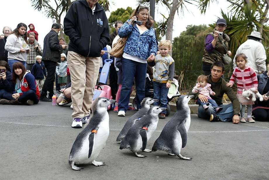 Spectators watch as four penguin chicks march towards their new habitat during the March of the Penguins at the San Francisco Zoo in San Francisco, Calif. on July 27, 2013. Photo: Ian C. Bates, The Chronicle