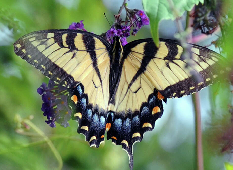 A Swallowtail butterfly in a tree off Riversville Road in Greenwich, Saturday, July 27, 2013. Photo: Bob Luckey / Greenwich Time