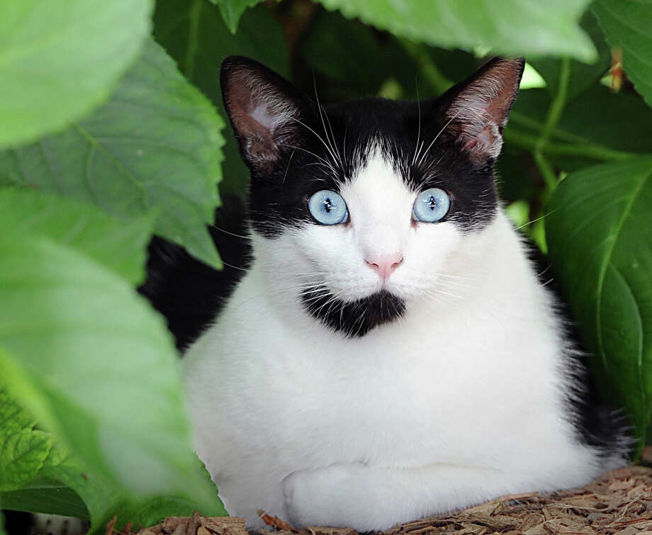 The blue marble-like eyes of Moo the cat, stare out from behind a green bush on Little Cove Place in Old Greenwich, Friday afternoon, July 26, 2013. Moo is a member of the Rohrer family. Photo: Bob Luckey / Greenwich Time