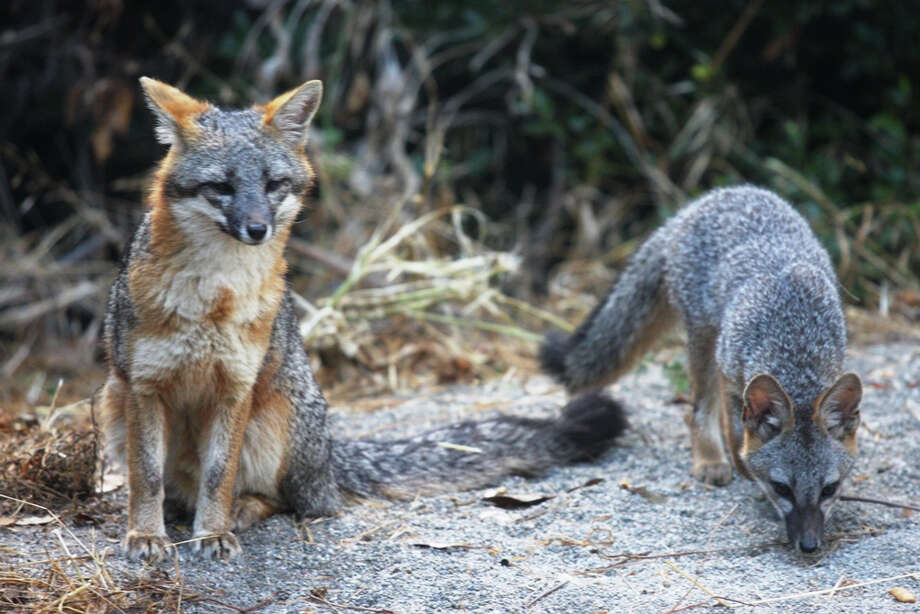 Bill Leikam, The Fox Guy, is conducting a study on gray fox and captured this pair, a momma gray fox and her pup, at the Peninsula's Baylands Photo: Bill Leikam