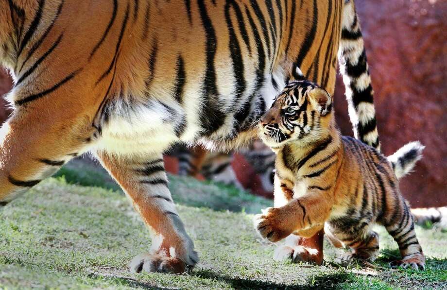 A Sumatran tiger cub chases after its mother in its exhibit at the Oklahoma City Zoo on Oct. 4, 2011, in Oklahoma City, Okla. Photo: Jim Beckel / The Oklahoman, Associated Press / THE OKLAHOMAN
