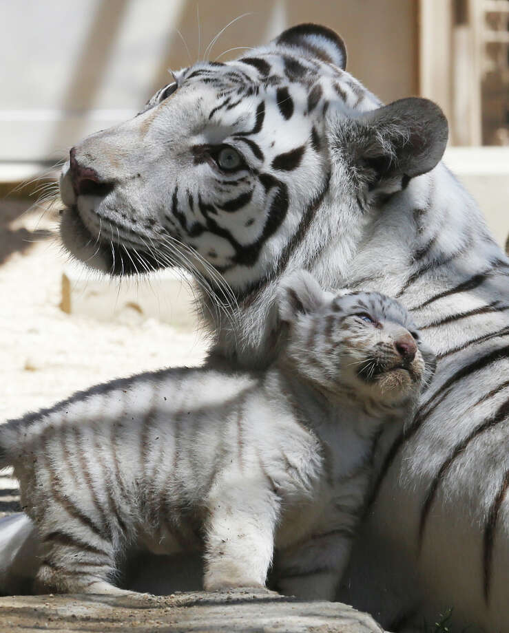 A white tiger sits with a 46-day-old cub at Tobu Zoo in Miyashiro, Japan, on May 2, 2013. Photo: Koji Sasahara, Associated Press / AP