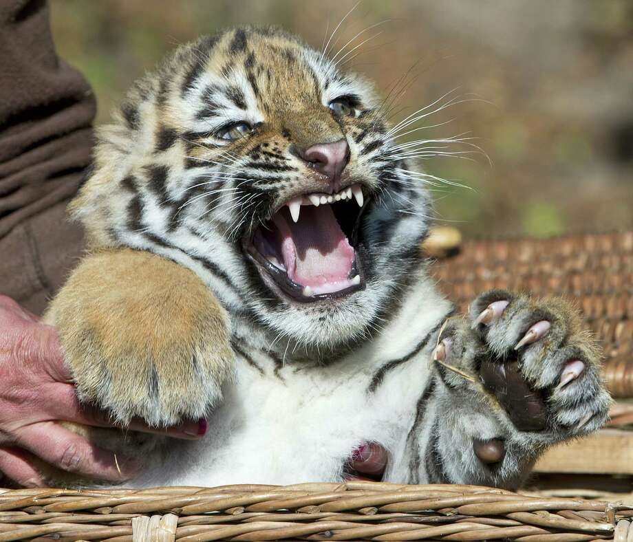 A zookeeper holds an Amur tiger cub, also known as the Siberian tiger, during weighing in at the Leipzig Zoo in Leipzig, Germany on Sept. 20, 2012. Two Amur tiger babies were born on July 20. Photo: Jens Meyer, Associated Press / AP