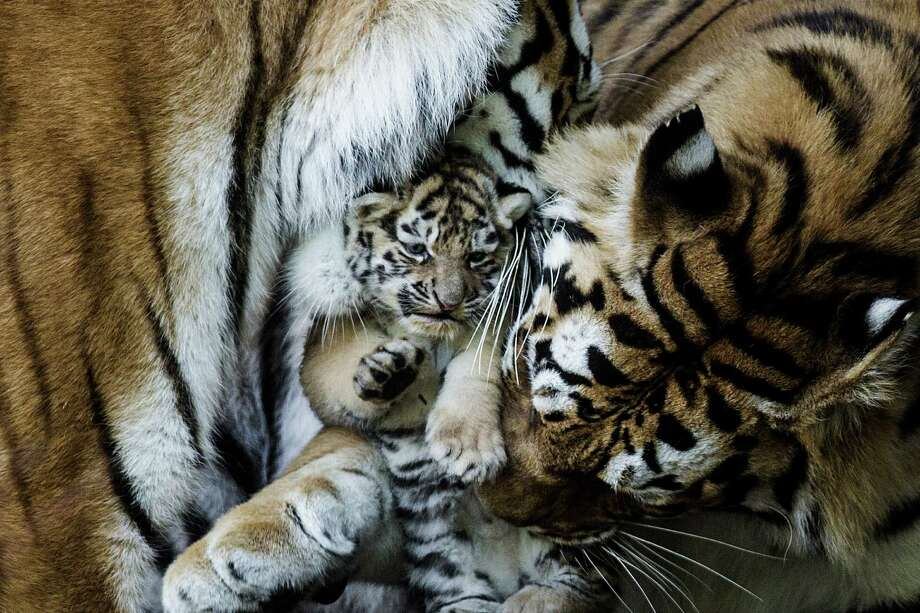 An Amur tiger cub plays with an adult tiger at the Copenhagen Zoo in Denmark on May 30, 2013. It was one of six cubs from two litters born in late April to two tiger mothers. Photo: Fals Simon, Associated Press / POLFOTO