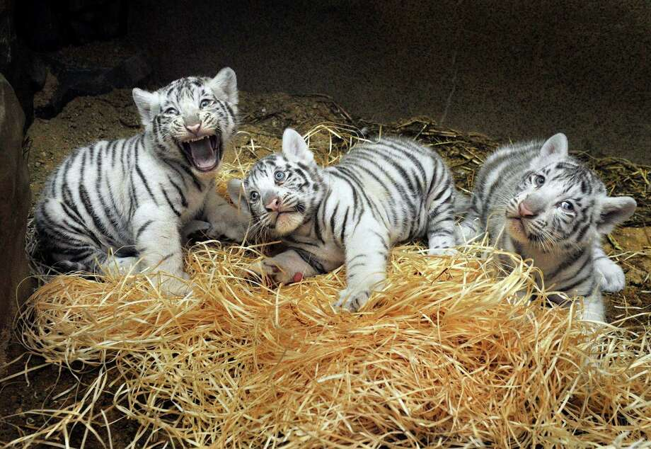 Three white Indian tiger cubs, born on July 1, 2012, in Liberec Zoo, Czech Republic, are seen after a veterinary examination on Aug. 22. Photo: Radek Petrasek, Associated Press / CTK