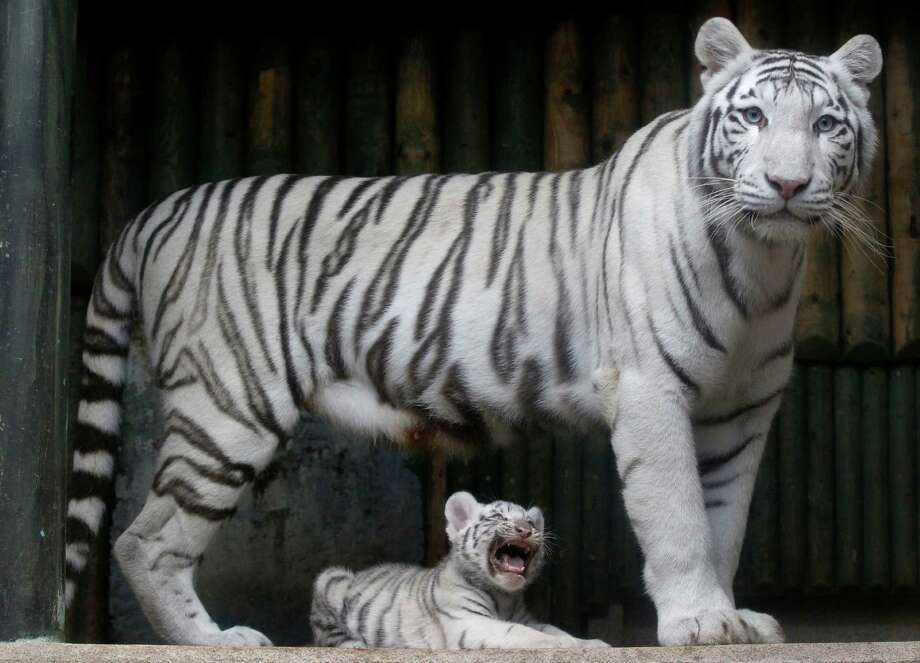 A rare white Indian tiger cub sits at the feet of its mother Surya Bara at a zoo in the city of Liberec, Czech Republic, on Sept. 3, 2012. It's one of triplets that were born in July. Photo: Petr David Josek, Associated Press / AP
