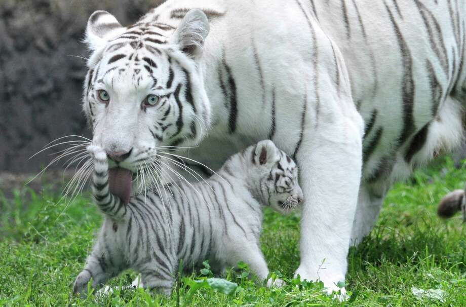A white tiger cub is licked clean by its mother Bianca on Aug. 25, 2010, at the Serengeti animal park in Hodenhagen, Germany. Four white tigers were born at the park on July 14. Photo: Jochen Luebke, AFP / Getty Images / 2010 AFP