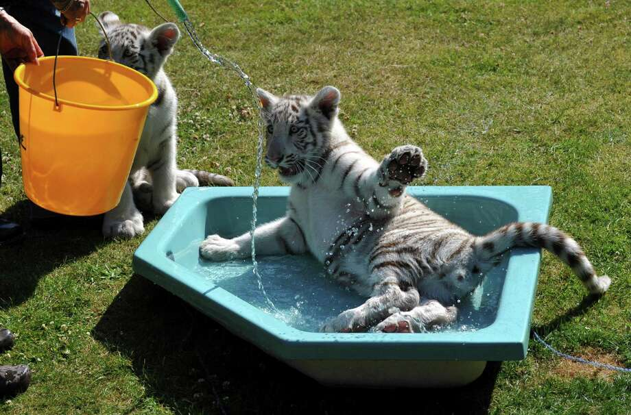 Bengal tiger babies Kico and Rico enjoy a bath in their small pool on June 24, 2010, at the Serengeti animal park in Hodenhagen, Germany. Photo: Jochen Luebke, AFP / Getty Images / 2010 AFP
