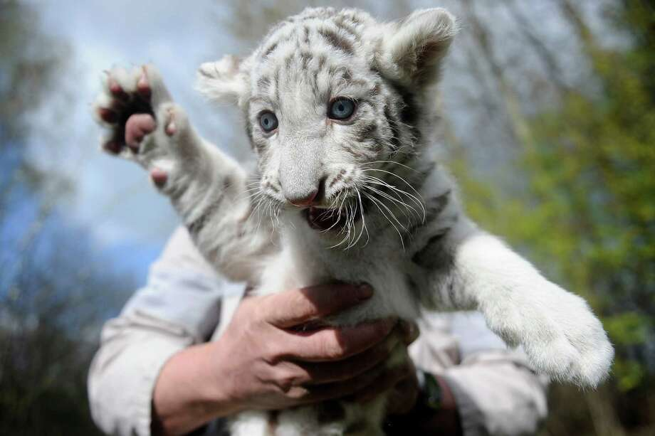 A zoo minder holds a six-week-old white tiger on April 21, 2010, at the  Serengeti-Park in Hodenhagen, Germany. Two white tiger babies, Rico and Kico, were born on March 8, but their parents rejected them so zookeepers take care of the cubs. Photo: Nigel Treblin, AFP / Getty Images / 2010 AFP