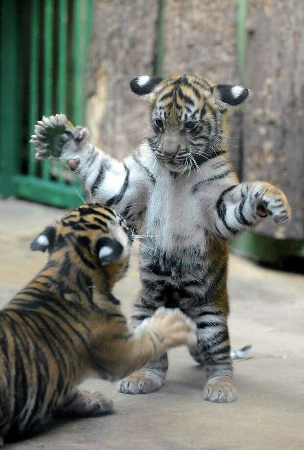 Two-month-old Sumatran tiger cubs play in their enclosure on Sept. 2, 2011, in the Prague Zoo in Prague, Czech Republic. Photo: Michal Cizek, AFP / Getty Images / AFP