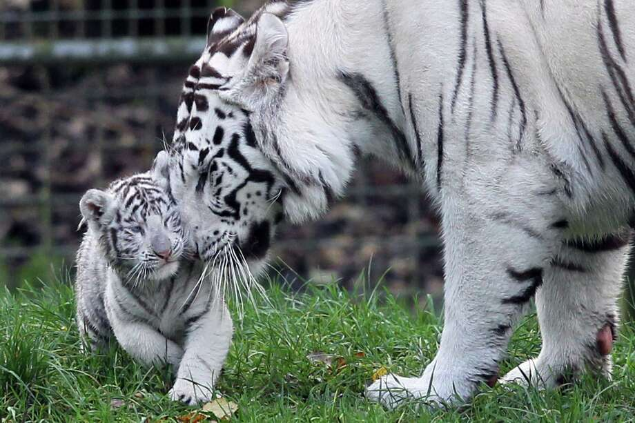 A white tiger cub is nuzzled by its mother Lisa on Dec. 5, 2011, at the zoological park of Cerza in Hermival-les-Vaux, France. It was one of two cubs born on Oct. 8. Photo: Kenzo Tribouillard, AFP / Getty Images / 2011 AFP