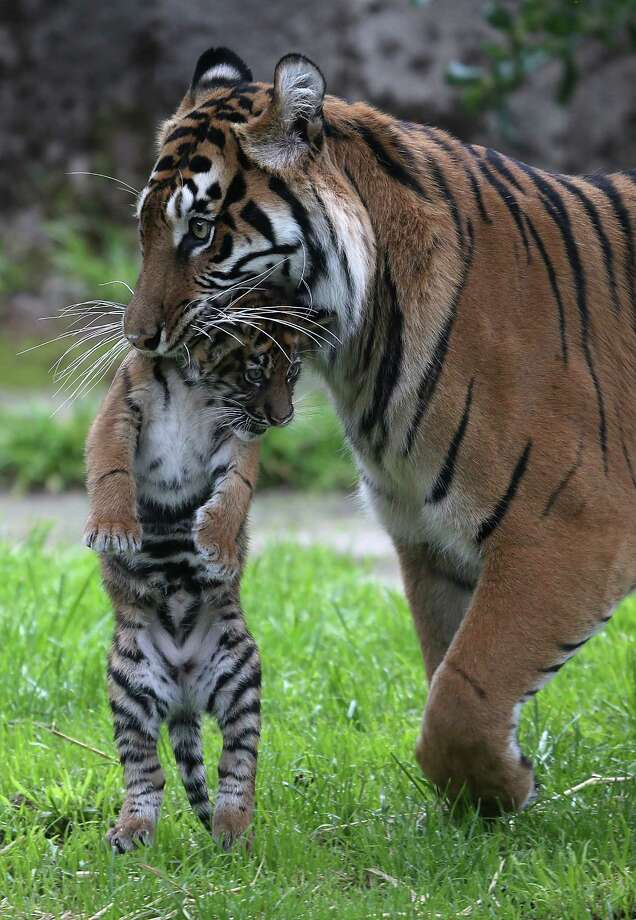A two-month-old Sumatran tiger cub is carried by its mother Leanne in their enclosure at the San Francisco Zoo in San Francisco, Calif., on April 12, 2013. Photo: Justin Sullivan, Getty Images / 2013 Getty Images