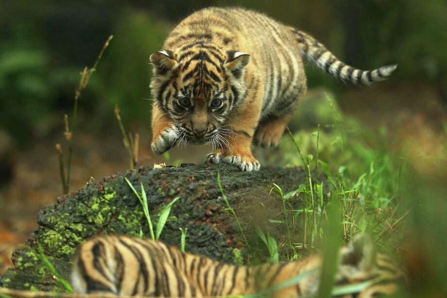 A Sumatran tiger cub stalks another cub while on display at Taronga Zoo in Sydney, Australia, on Oct. 25, 2011. The Sumatran tiger cubs were born in August to mother Jumilah. Photo: Mark Kolbe, Getty Images / 2011 Getty Images
