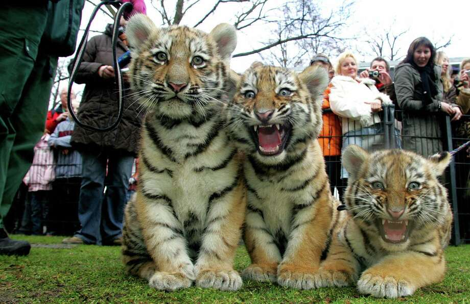 Three baby tigers are presented to the public on Feb. 6, 2008, at the zoo in Hoyerswerda, Germany. The tigers were born in November 2007 at the zoo and have become the new stars of the eastern German town. Photo: Norbert Millauer, AFP / Getty Images / 2008 AFP