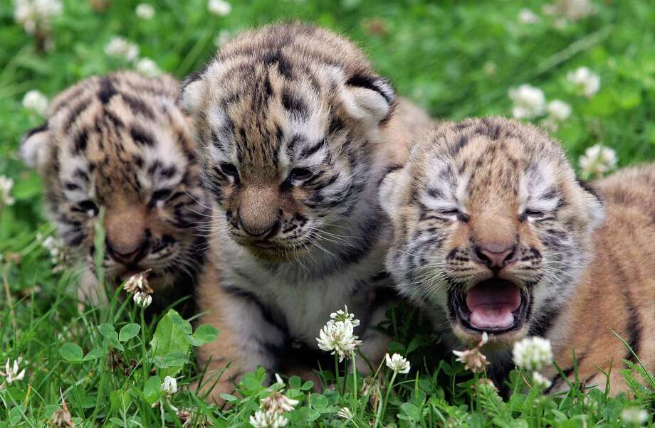 Three baby tigers are sit in the grass during their first outdoor walk at the zoo in Leipzig, Germany, on July 13, 2007. The triplets were born June 30 and have not yet been named. Photo: Jens Schlueter, AFP / Getty Images / 2007 AFP