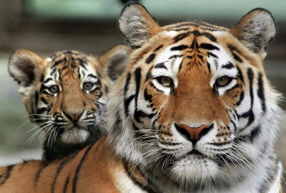 A baby Siberian tiger stands next to his mother on June 6, 2007, as he makes his first public appearance at the zoo in Mulhouse, France. He was one of two tigers born on Feb. 16. Photo: Frederick Florin, AFP / Getty Images / 2007 AFP
