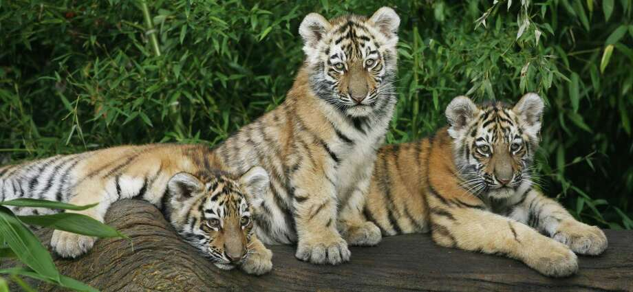 Three baby Siberian tigers sit on a log in their enclosure at the zoo in Nuremberg, Germany, on Nov. 20, 2009. The young tigers named Rangar, Khan and Domur were born on Aug. 1 at the zoo. Photo: Timm Schamberger, AFP / Getty Images / 2009 AFP