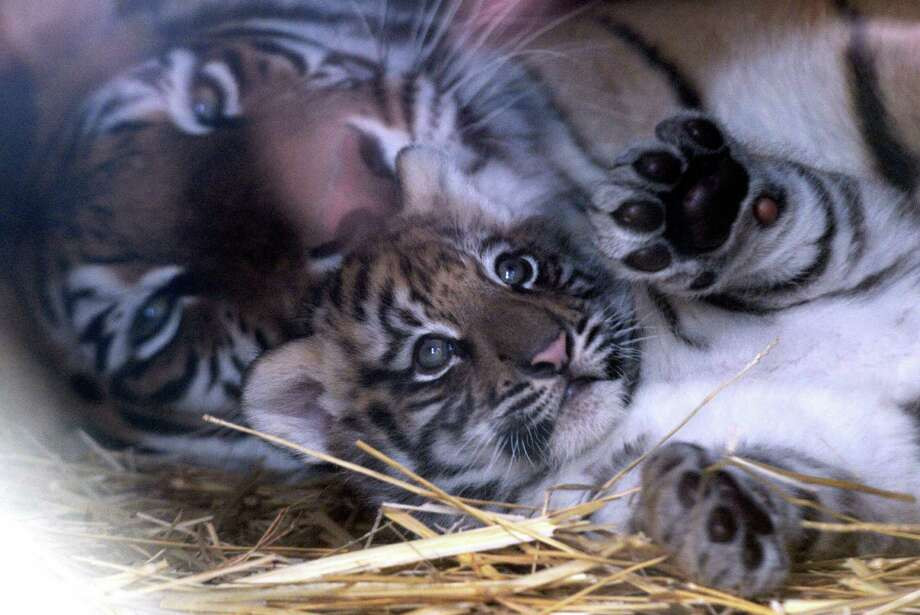 A one-month-old tiger cub lies next to its mother Canela at Santiago's zoo in Santiago, Chile, on July 15, 2009. It is one of three baby tigers were born in captivity one month ago from a white and a common tiger.