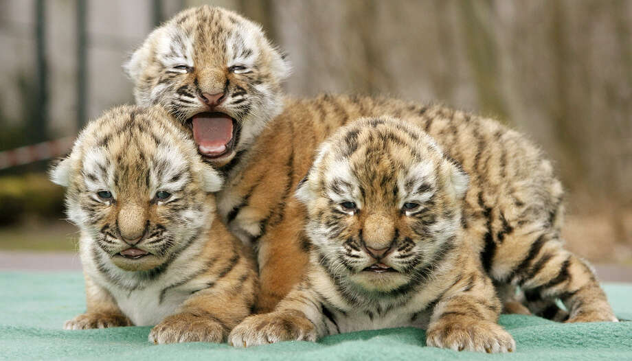 Three Siberian tiger babies cuddle in the zoo of Leipzig, Germany, on March 13, 2009. They were born on March 2. Photo: Sebastian Willnow, AFP / Getty Images / 2009 AFP