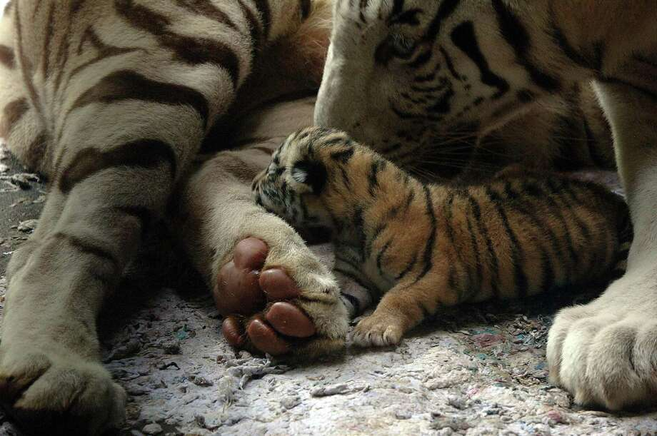 A two-day-old Bengal tiger cub sits next to its mother Kartini at Bali zoo park in Gianyar on Bali island on Feb. 18, 2009. Photo: Sonny Tumbelaka, AFP / Getty Images / 2009 AFP