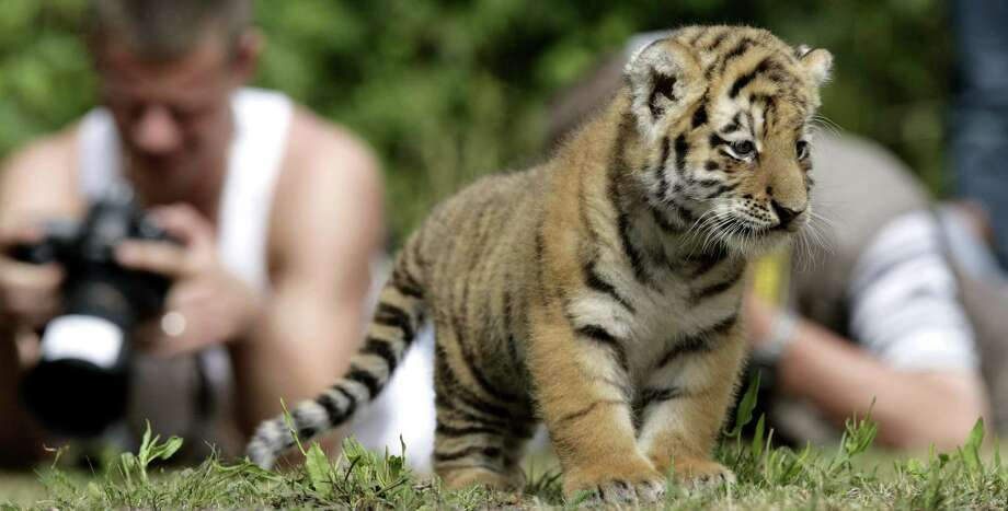 Photographers watch newborn Siberian tiger Antares play in his enclosure at the Tierpark Berlin on Aug. 5, 2008, in Berlin, Germany. Photo: Sascha Radke/DAVIDS, WireImage Via Getty Images / WireImage