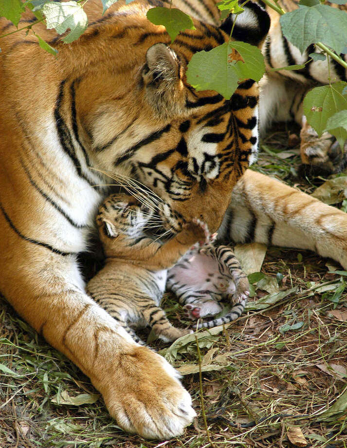 One-day-old Indian Royal Bengal tiger cubs play with their mother in their enclosure at the Assam State Zoo in Guwahati, India, on Nov. 6, 2005. Photo: STR, AFP / Getty Images / 2005 AFP