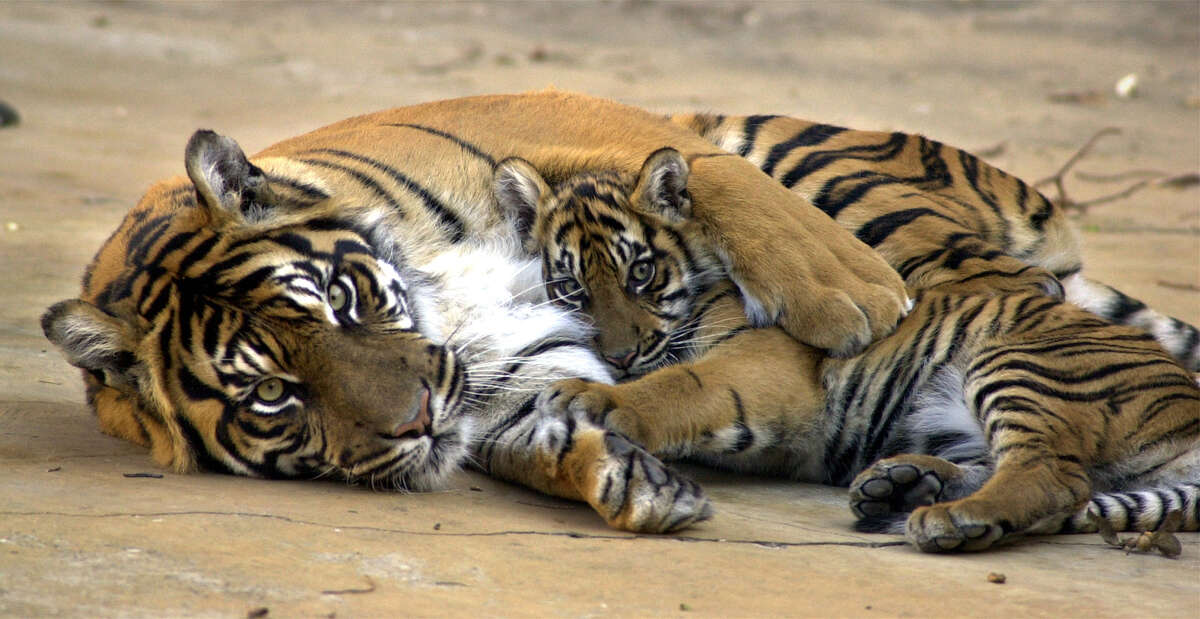 Mother Sumatran tiger Malaya holds one of her two 20-week-old cubs in her arms at the San Antonio Zoo in 2000. Malaya died of a uterine infection in 2010.