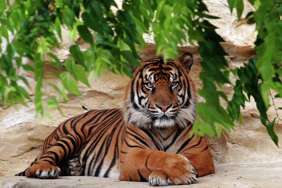 In honor of International Tiger Day on July 29, here are 30 photos of tiger cubs around the world doing what they do best: being adorable. And don't forget you can see Sumatran tiger Berani (above) at the San Antonio Zoo. Photo: Nicole Frugé, San Antonio Express-News File Photo / San Antonio Express-News