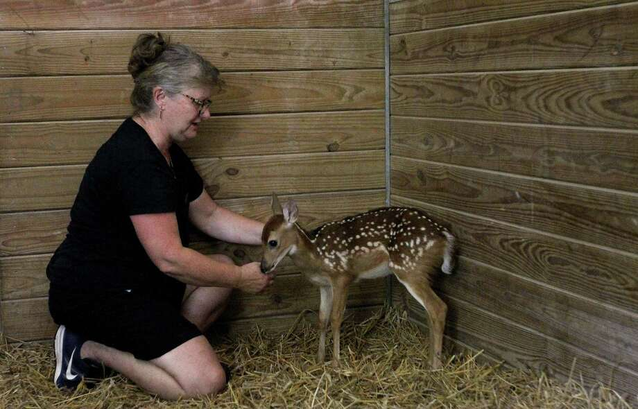 Jo Snyder pets one of several fawns that she is helping to rehab for the Friends of Texas Wildlife. Photo: Karen Warren, Houston Chronicle / © 2013 Houston Chronicle
