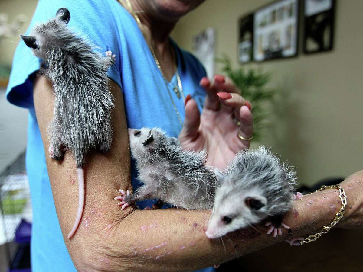 Anne Mayeux holds three baby opossums that she is rehabbing for the Friends of Texas Wildlife at the center's intake in Magnolia.