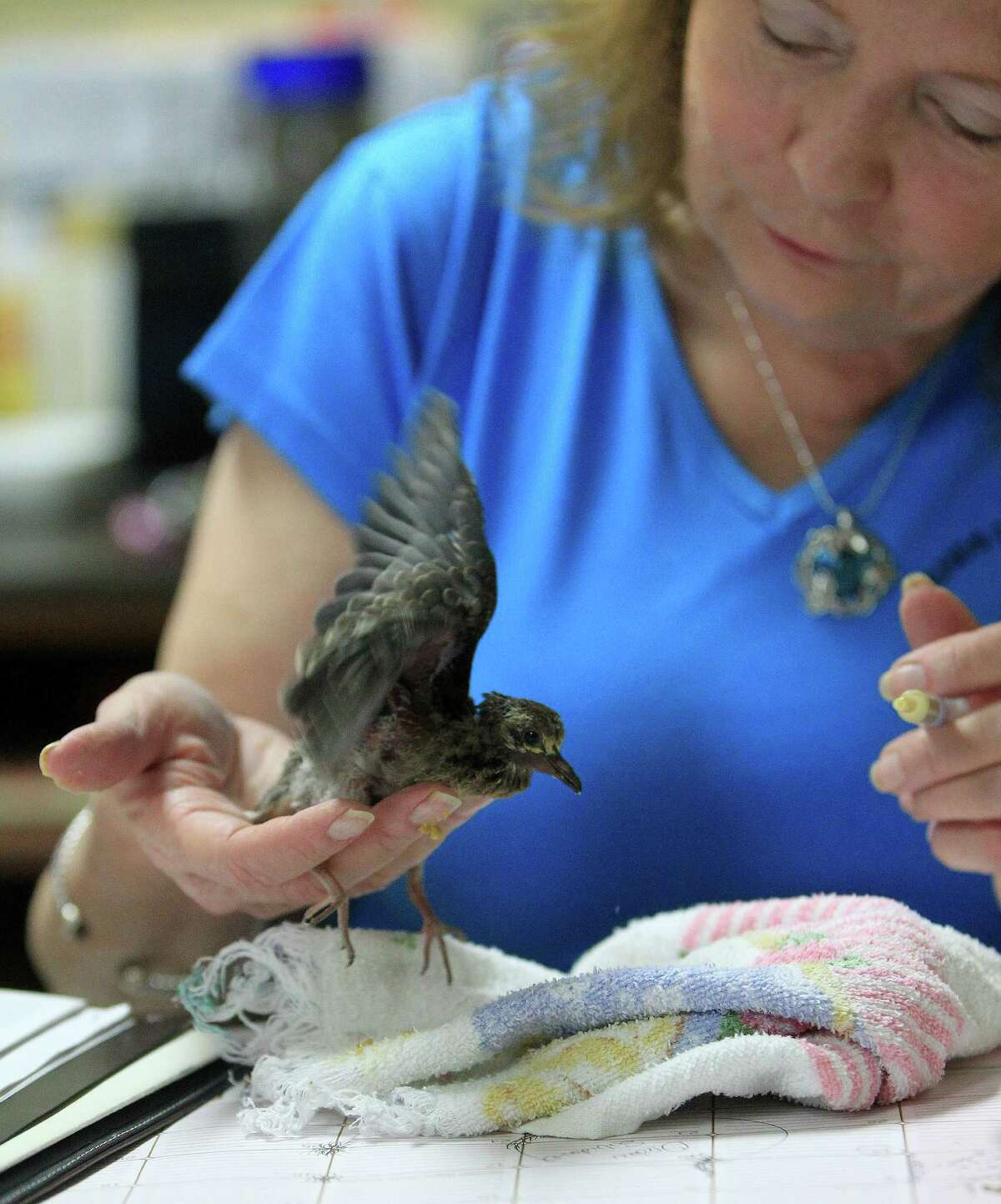 Janette Winkelmann, president of Friends of Texas Wildlife, feeds a baby Mourning Dove.