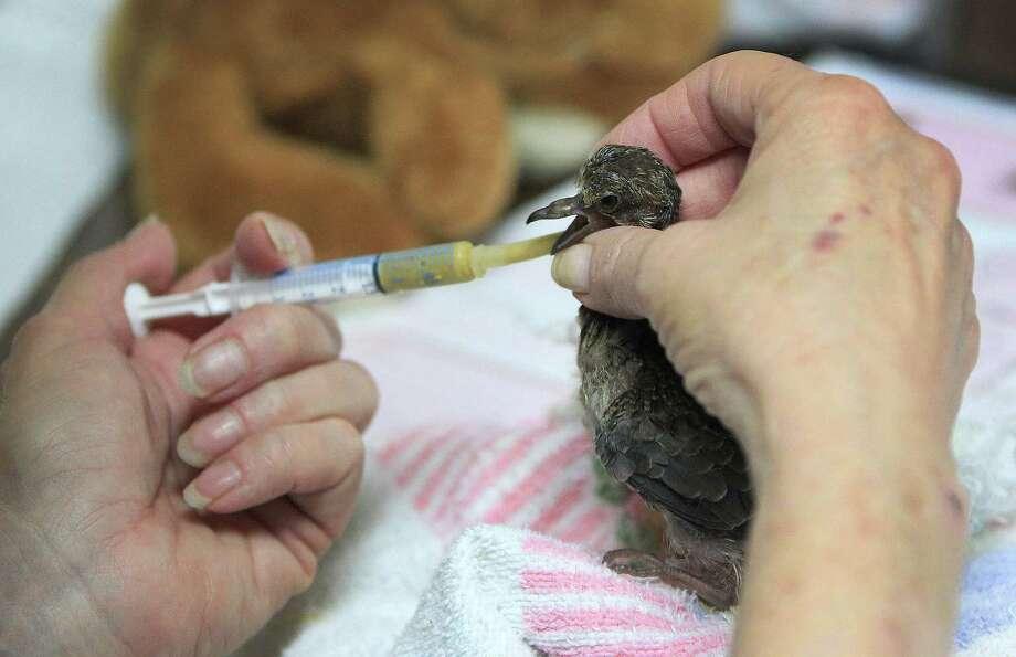 Janette Winkelmann, president of Friends of Texas Wildlife, feeds a baby Mourning Dove. Photo: Karen Warren, Houston Chronicle / © 2013 Houston Chronicle