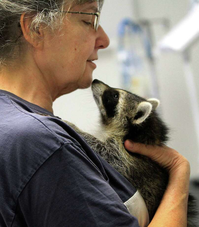 Sandy Dehaini gets close to one of three raccoons that she is rehabbing. Photo: Karen Warren, Houston Chronicle / © 2013 Houston Chronicle