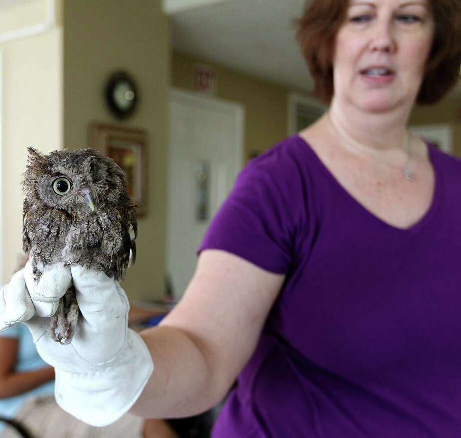 "Lisa Wolling, holds ""One-Eyed Jack"" a one-eyed Screech Owl at the intake center. Photo: Karen Warren, Houston Chronicle / © 2013 Houston Chronicle"