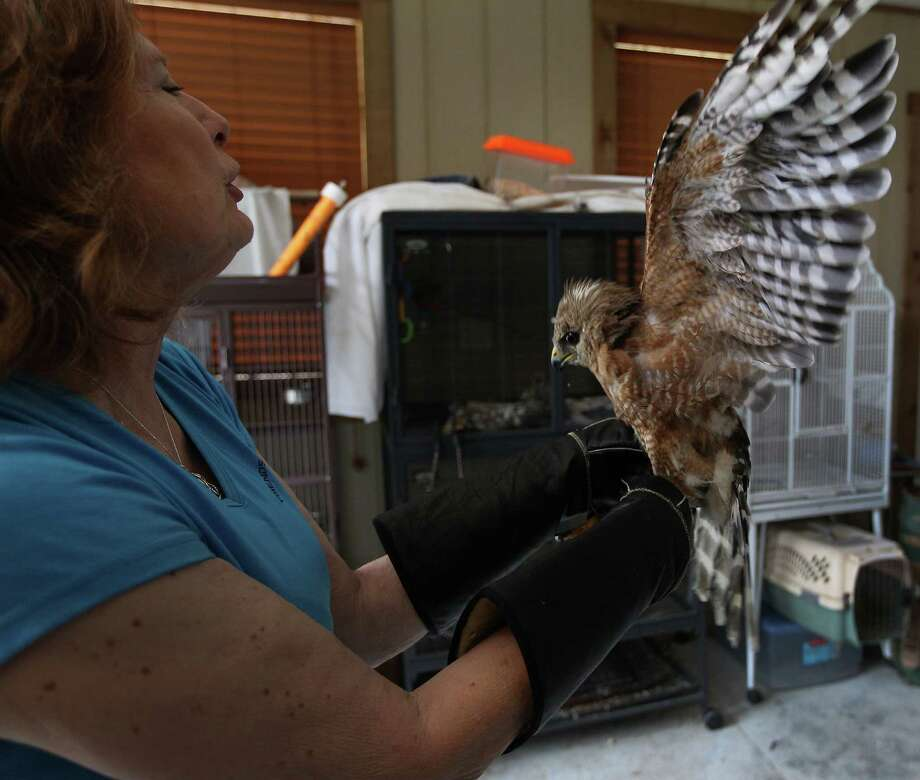 Janette Winkelmann, works with an injured hawk in the intake building. Photo: Karen Warren, Houston Chronicle / © 2013 Houston Chronicle