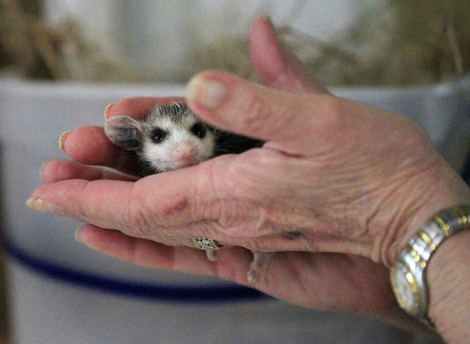 Janette Winkelmann holds a baby opossum after it was brought into the Friends of Texas Wildlife's intake center. Photo: Karen Warren, Houston Chronicle / © 2013 Houston Chronicle