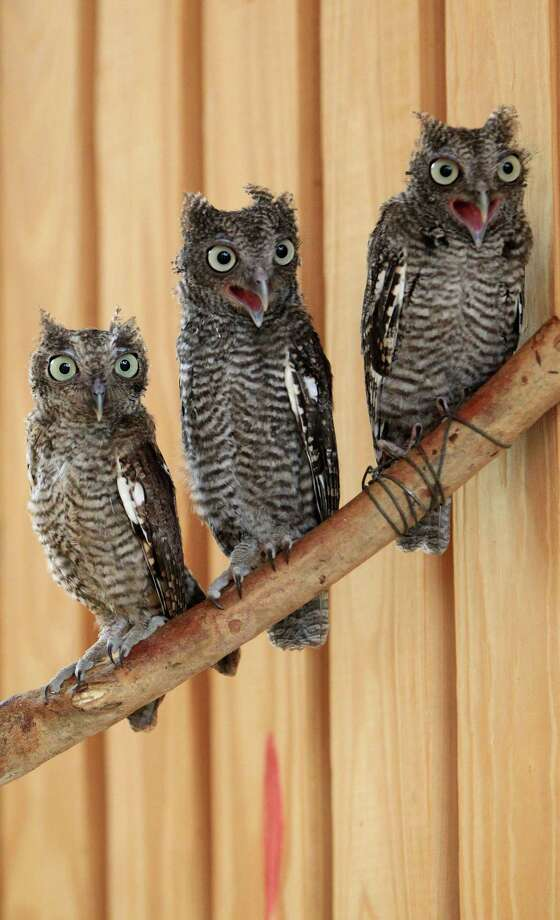 Injured screech owls sit on a perch in a flight cage. Photo: Karen Warren, Houston Chronicle / © 2013 Houston Chronicle