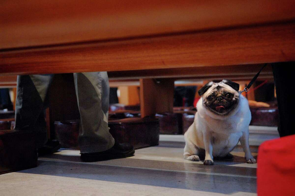 Snickers takes in the view from under the pews at St. Paul's Episcopal Church in Albany, NY during a blessing of the animals service at the Albany, NY church. Mary Jane McGuire, from Delmar, NY, brought Snickers to get blessed. (Paul Buckowski / Times Union)