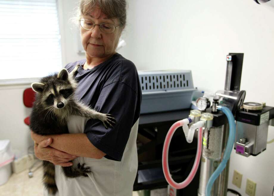 Sandy Dehaini holds a raccoon at the Friends of Texas Wildlife, where rehabilitators are overrun with orphaned animals. Photo: Karen Warren, Staff / © 2013 Houston Chronicle
