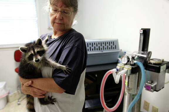 Sandy Dehaini holds a raccoon at the Friends of Texas Wildlife, where rehabilitators are overrun with orphaned animals.
