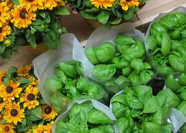 Basil plants sold in containers at groceries have become a popular choice for cooks. Examine the plants before you buy and reject ones with insects on them.