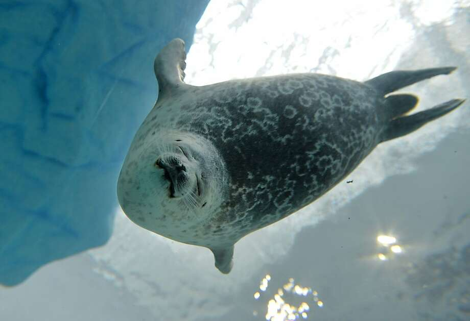 Blissfully bulbous: A ringed seal shaped like a propane tank dives deep into the Osaka Aquarium Kaiyukan in Japan. Photo: Kazuhiro Nogi, AFP/Getty Images