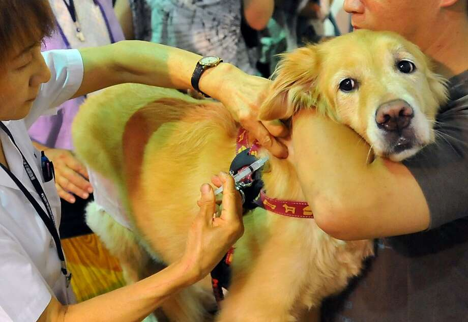 What did I do to deserve this? A golden retriever braves a rabies shot at a pet show in Taipei. Taiwanese authorities urged owners to get their pets vaccinated against the deadly disease after a string of outbreaks among wild ferret-badgers. Photo: Mandy Cheng, AFP/Getty Images